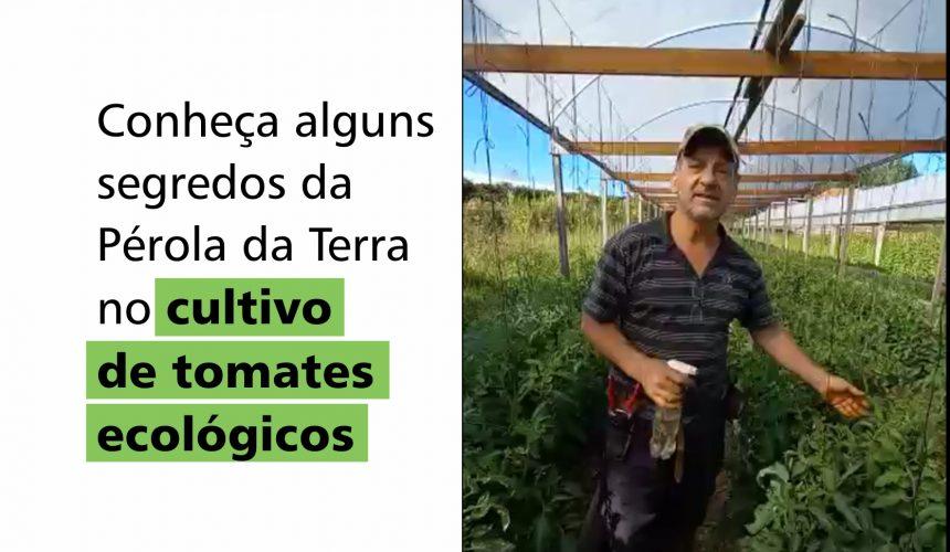Conheça alguns segredos da Pérola da Terra no cultivo de tomates ecológicos